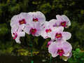 Free Beautiful Pink Orchid Royalty Free Stock Photography - 36683447