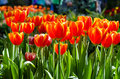 Free Beautiful Orange Tulips In The Park Royalty Free Stock Images - 36683549