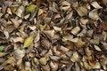 Free Fall Leaves &x28;banyan&x29;. Stock Photo - 36688690