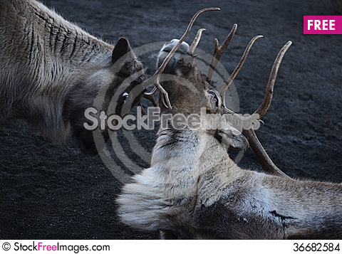 Free A Couple Of Deer Stock Images - 36682584