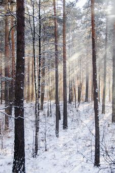 Free Beams Through Frosty Fog In The Winter Pine Wood Stock Photography - 36680832