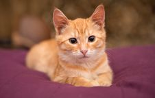 Orange Kitten Lie On The Bed Stock Photography