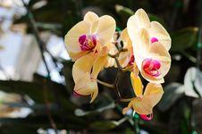 Free Beautiful Yellow Orchid Stock Photo - 36683390