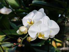 Free White Orchid Stock Images - 36683404