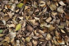 Fall Leaves &x28;banyan&x29;. Stock Photo