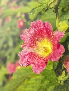 Pink Mallow Flower With Dew Drops Stock Photography