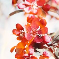 Free Red Flowers On The Apple Tree. Royalty Free Stock Images - 36688909