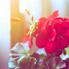 Free Red Geraniums Royalty Free Stock Photography - 36688917