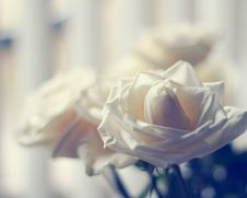 Free White Roses Stock Images - 36688944