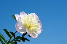 Free Delicate Peony Royalty Free Stock Images - 36689159