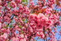 Free Pink Blossomed Sakura Flowers Royalty Free Stock Image - 36696316