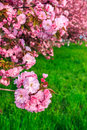 Free Pink Flowers Of Sakura Branches Above Grass Royalty Free Stock Image - 36696346