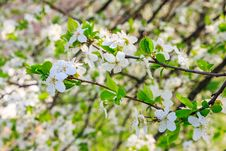 Flowers Of Apple Tree On A Grass Royalty Free Stock Photos