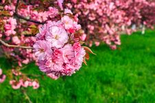 Free Pink Flowers Of Sakura Branches Above Grass Stock Images - 36696424