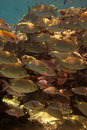 Free Fish With Sunlight Filtering Through Water Royalty Free Stock Image - 3676626