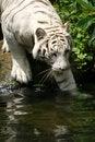 Free White Tiger Royalty Free Stock Photos - 3676808