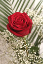 Free One Red Rose Stock Images - 3677254
