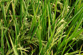 Free Rice Field Royalty Free Stock Image - 3679776