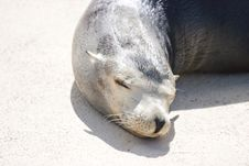 Free Sleeping Sea Lion Stock Photos - 3670123