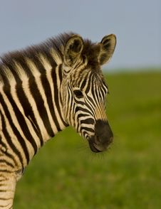 Free Burchell S Zebra Portrait Stock Photo - 3670240
