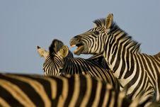 Free Zebra Stallions Royalty Free Stock Photo - 3670485
