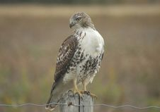 Free Redtail Hawk Stock Images - 3670844