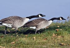 Free Canada Geese Stock Photos - 3672633