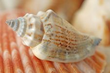 Free Sea Shells In Closeup Royalty Free Stock Photo - 3672735