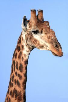 Free Giraffe (Giraffa Cameloparadalis) Royalty Free Stock Images - 3673489
