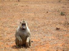 Free Vain Baboon Royalty Free Stock Photo - 3673565