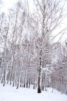 Free Birches Under Snow Stock Photo - 3674730