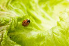 Free Ladybug Royalty Free Stock Image - 3675456