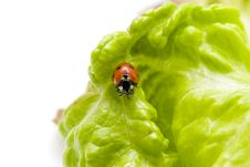 Free Ladybug Royalty Free Stock Images - 3675469
