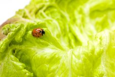 Free Ladybug On Lettuce Stock Photography - 3675522