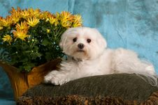 Free Pure Breed Maltese Royalty Free Stock Photos - 3676468