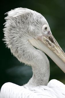 Free Pelican Royalty Free Stock Photography - 3676657