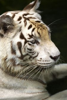Free White Tiger Royalty Free Stock Photo - 3676695