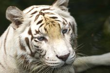 Free White Tiger Royalty Free Stock Photos - 3676728