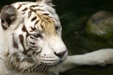 Free White Tiger Stock Photo - 3676730