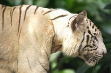 Free White Tiger Stock Photos - 3676733