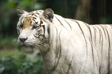 Free White Tiger Royalty Free Stock Photography - 3676737