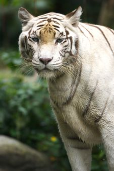 Free White Tiger Royalty Free Stock Images - 3676739