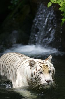 Free White Tiger Stock Photography - 3676752