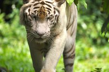 Free White Tiger Royalty Free Stock Photography - 3676757