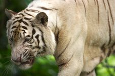 Free White Tiger Royalty Free Stock Photos - 3676768