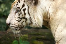 Free White Tiger Stock Photography - 3676772