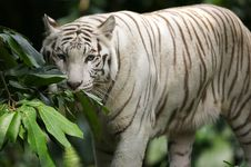 Free White Tiger Royalty Free Stock Photography - 3676787