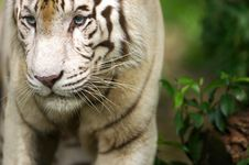 Free White Tiger Stock Images - 3676794