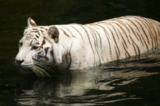 Free White Tiger Royalty Free Stock Images - 3676819