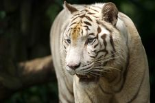 Free White Tiger Stock Photos - 3676823